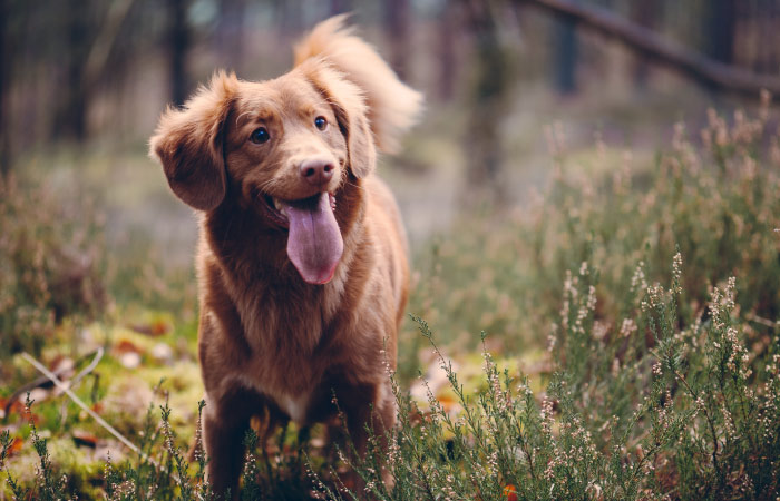 Brown dog with long hair and fluffy tail stands in a field of wildflowers with its tongue hanging out